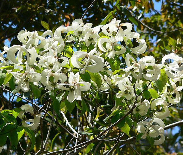 Otra pasada de árbol por su rara floración ♥♥♥ -Cornus_florida_ssp_urbiniana_1