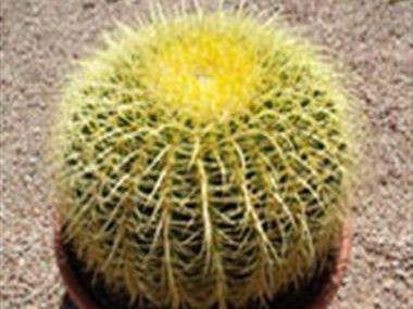 VƯỜN CÂY ĐV II - Page 6 Golden_barrel_cactus_380