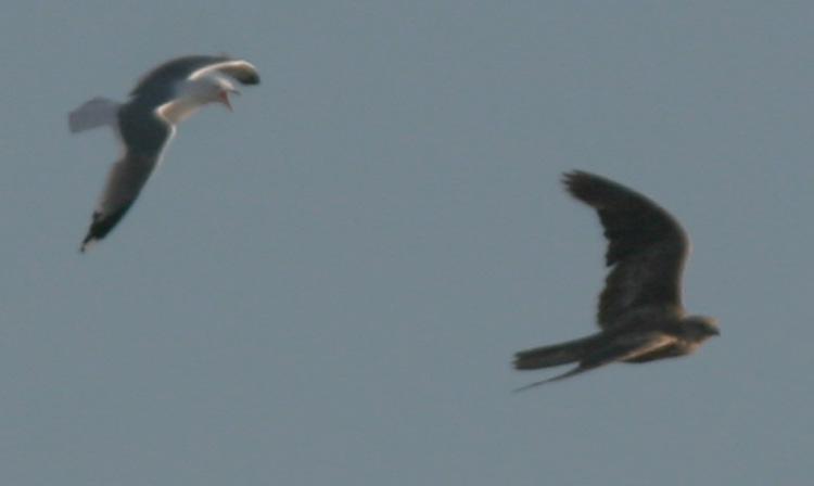 Falconiformes. sub Falconidae - sub fam Falconinae - gênero Falco IMG_C39993