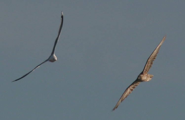 Falconiformes. sub Falconidae - sub fam Falconinae - gênero Falco IMG_C40001