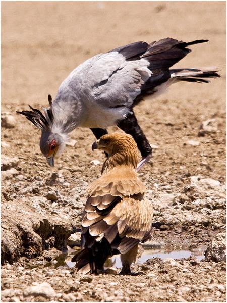 Falconiformes. Fam .Sagittaridae. espécie Sagittarius serpentarius.  Secretário 1411t