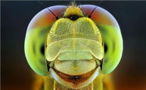 Просто естественный отбор по Дарвину (?) — или Генная инженерия живых существ Dragonfly-300x185