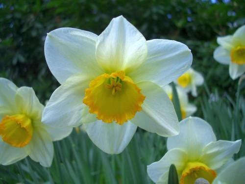 وردة النرجس  Daffodil-9