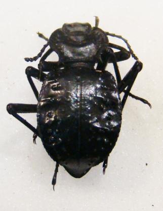 escaravelho (Akis tuberculata) 0532389001347893052