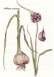 Liste de plantes pour les soins Allium_sativum