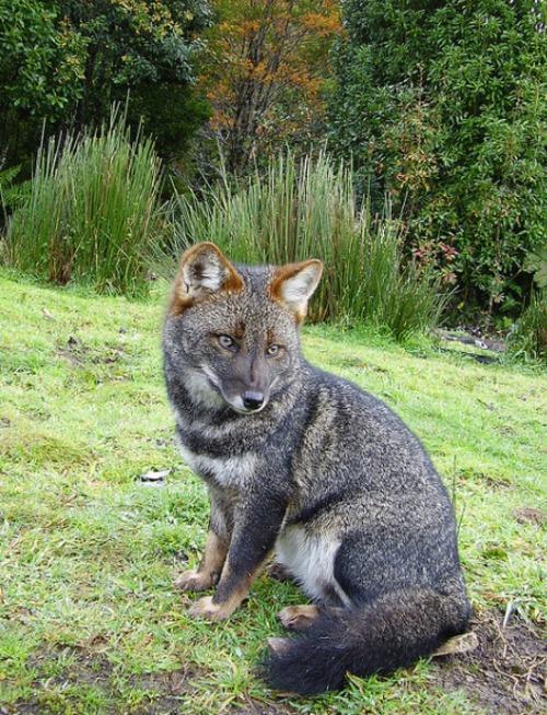 l'animal du petit loulou - 31 octobre trouvé par ginto et martin Renard-de-Darwin-4