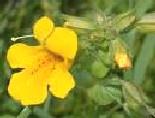 Flores de Bach para los que sienten miedos Mimulus