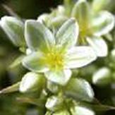 Flores de Bach contra la incertidumbre Scleranthus