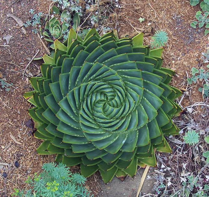 25 photographies époustouflantes de géométrie sacrée dans la nature Aloe-Polyphylla_670