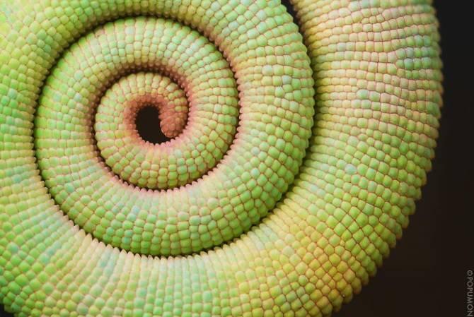 25 photographies époustouflantes de géométrie sacrée dans la nature Chameleon-Tail_670