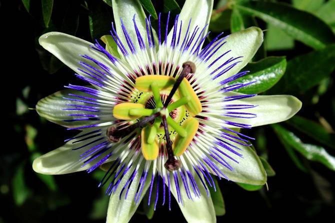 25 photographies époustouflantes de géométrie sacrée dans la nature Passiflora-Caerulea_670