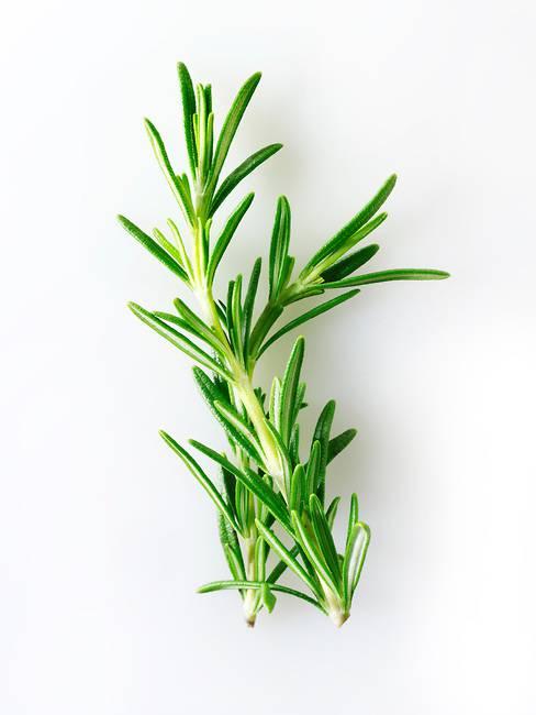 Guérir les sept chakras avec des herbes RF-Rosemary-Herbs-Photos-Pictures-Fotos-Images-66933
