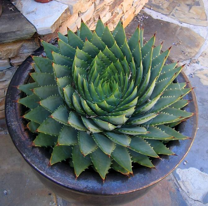 25 photographies époustouflantes de géométrie sacrée dans la nature Spiraling-Succulent_670