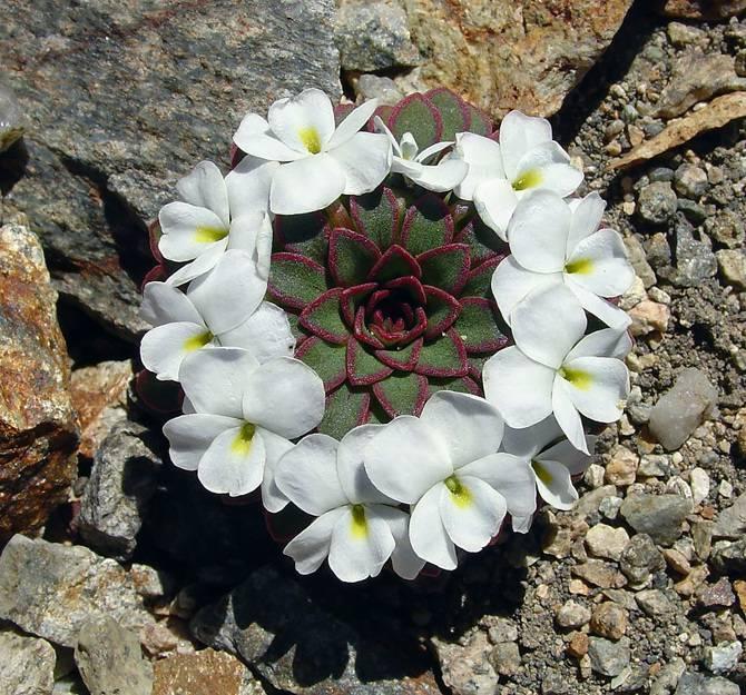 25 photographies époustouflantes de géométrie sacrée dans la nature Viola-Sacculus_670
