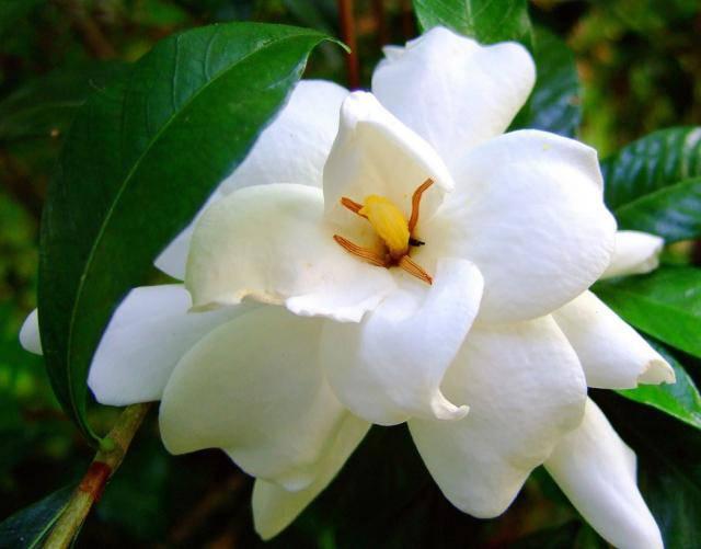 Guérir les sept chakras avec des herbes Photos-of-White-Gardenia-flowers-with-yellow-center