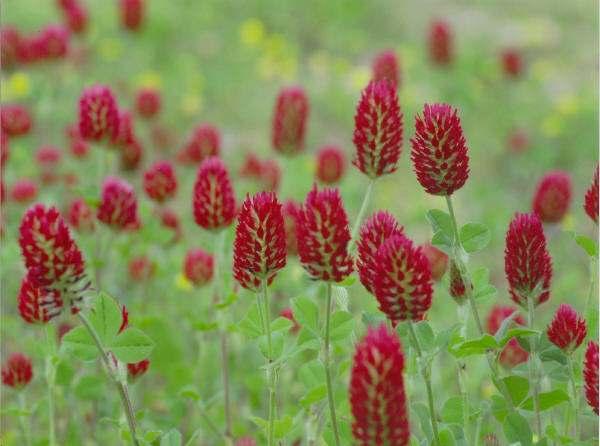 Guérir les sept chakras avec des herbes Red-clover-blossom-flower-4