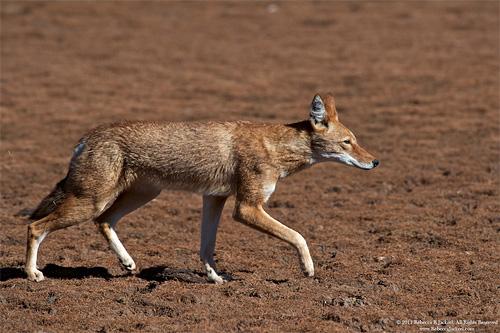 Carnívoros Família Canidae. Canis simensis- Lobo da Etiópia Ethiopian-wolf-1
