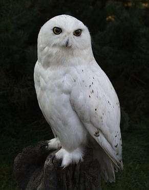 Mojo 2014 Snowy owl walkaround by ulinuk Schneeeule3