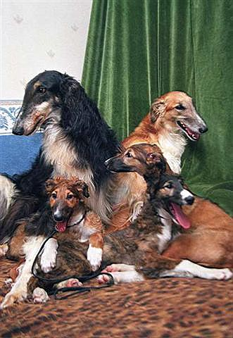 Ruski hrt - borzoj (Barzaia) Family