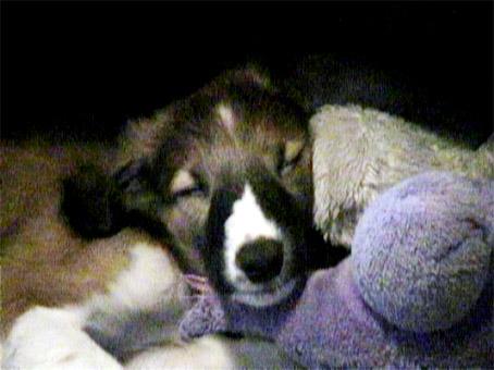 Ruski hrt - borzoj (Barzaia) Puppy