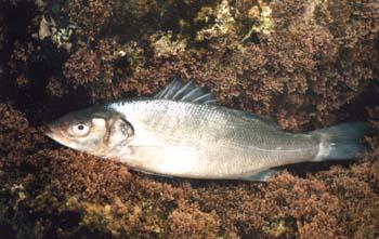 Escrito La pesca de la Lubina  por Antonio López Vaamonde Lubina