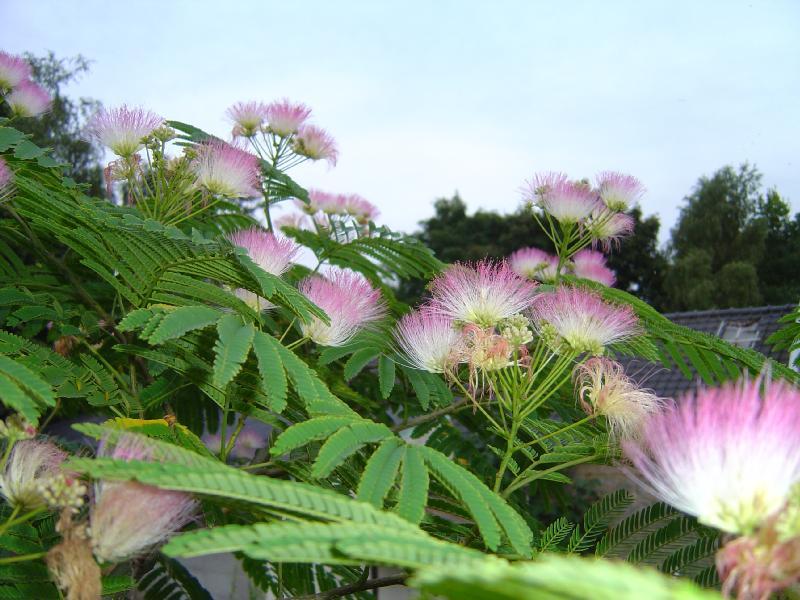 Albizzia julibrissin Albizzia%20flower