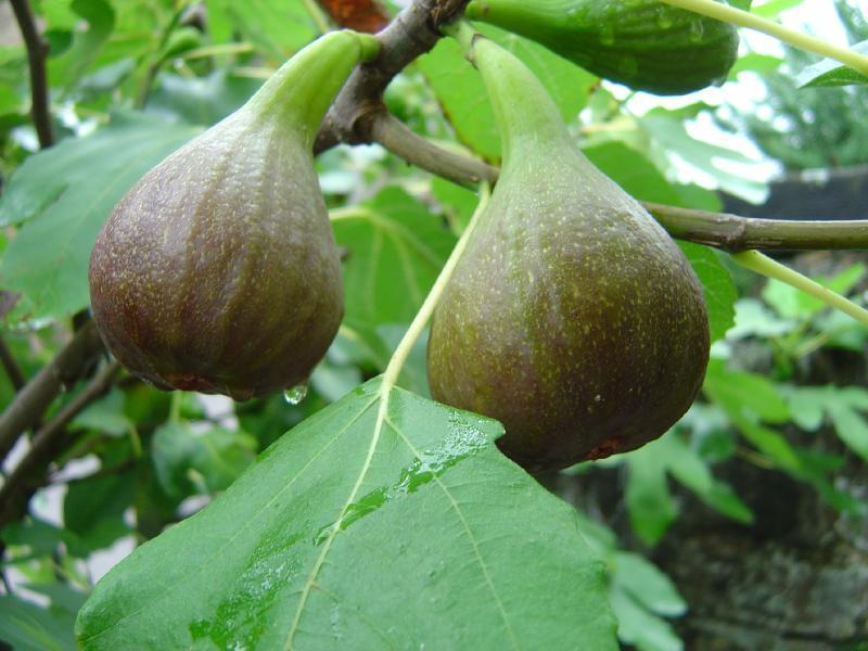 Ficus carica (Figuier) Figs