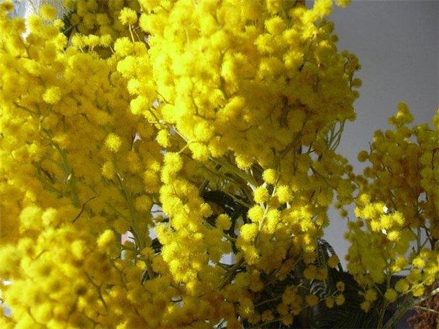 Фанфики  - Страница 2 Close-up-of-mimosa