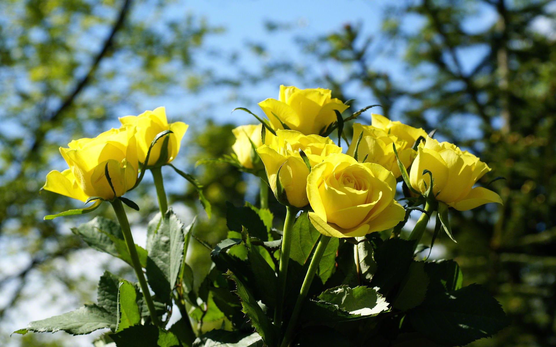 Trendafila - Faqe 14 Yellow-roses-02799
