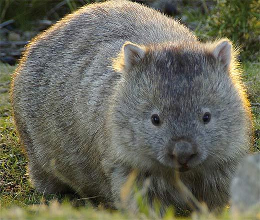 [Jeu] Association d'images - Page 2 Large-light-wombat
