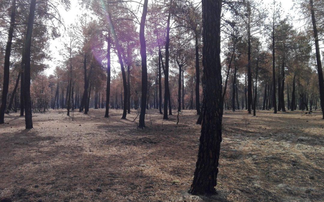Galiza, incendios: La Xunta admite que en As Fragas do Eume han ardido 750 hectáreas.  - Página 4 Fustal-adulto-secos-1080x675