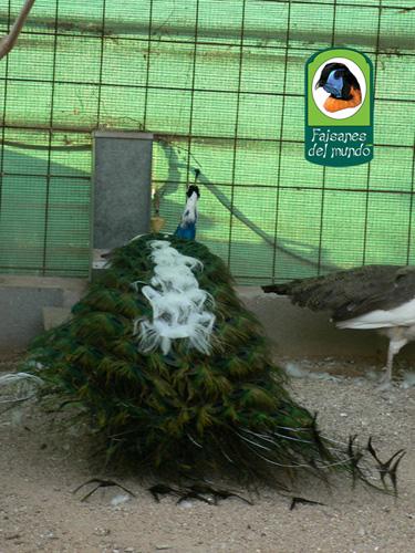 عم تتحدث الصور عن جمال الطاوس Picture9375