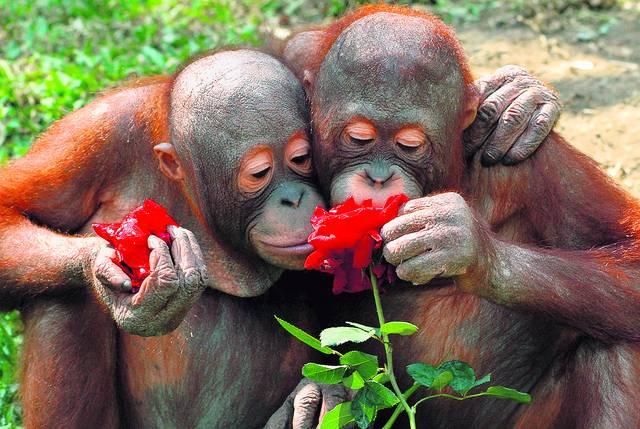 Humore montazhi dhe foto tjera humoristike - Faqe 2 Orang_Utan_Rose