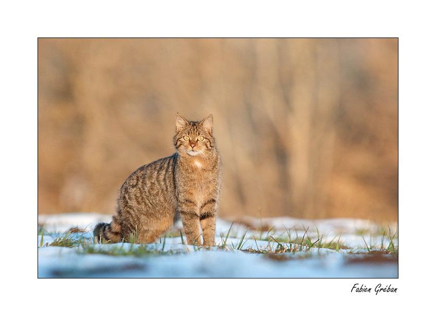 Soutenons les espèces oubliées et pourtant si joviales - Page 23 Chat-sauvage