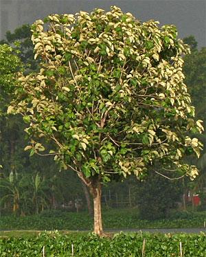 Árvores - Nossos baixos antes de tomar forma - Página 2 Teca_00