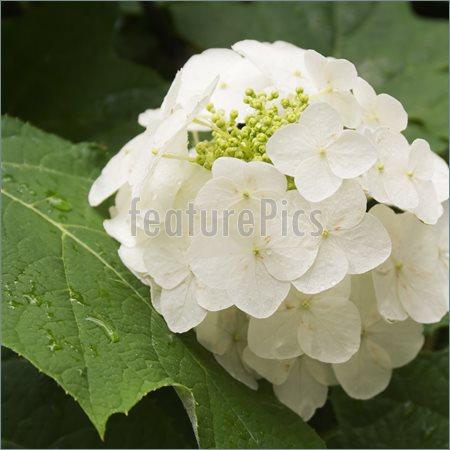 VƯỜN CÂY ĐV II - Page 14 White-Hydrangea-Flowers-352809