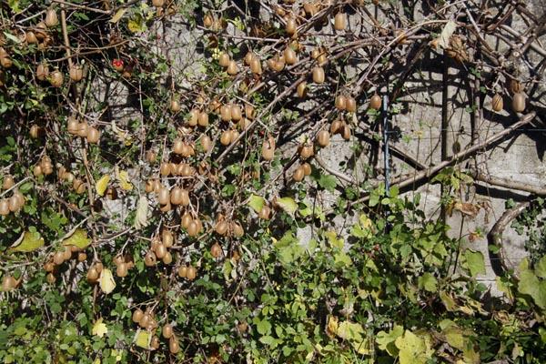 actinidia fruit kiwi - Page 3 Actinidia_2010_11_14