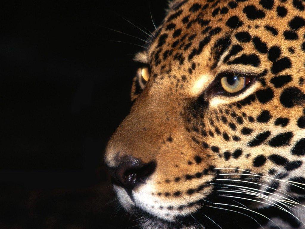 CACHORROS Y ANIMALES Leopardo_23