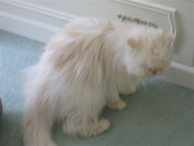 Etat du bassin d'un chat IRC Ollie_back_legs