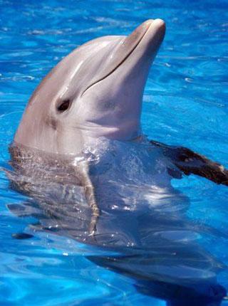Forumaš iznad u liku životinje - Page 2 Delfin_velika