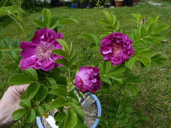 rosier souvenir de trélazé P1050380