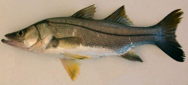 La Pesca del Róbalo (Centropomus sp.) por José Manuel López Pinto / Actualizado a 03 de Noviembre del 2013 Cepoe_u0