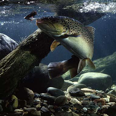 Glosario de Términos de Pesca por Vicente Castrejón Balderas y José Manuel López Pinto Underwater-brown-trout