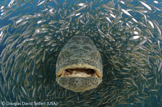 Peces Grandes Sanos, Crías Cada Año Grouper