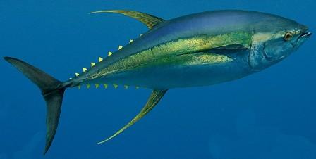 La Pesca del Atún Aleta Amarilla por José Manuel López Pinto / Actualizado al 16/05/12 Yellowfin_tuna