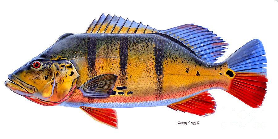 Glosario de Términos de Pesca por Vicente Castrejón Balderas y José Manuel López Pinto Peacock-bass-carey-chen