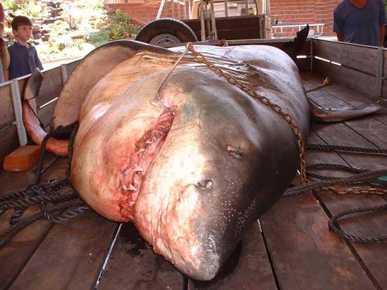 بحث عن القرش 92whiteshark