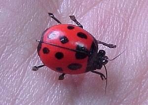 Moscas Súper Realistas BobMead-ladybug-300-90