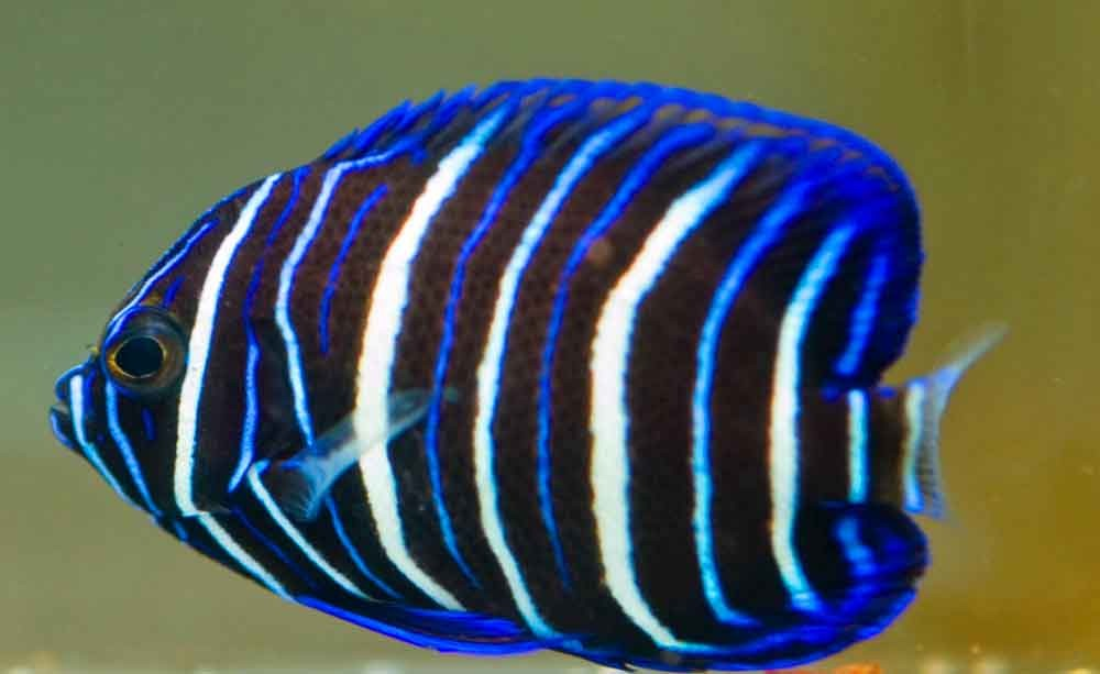 What juvenile angelfish is this?? Blueface-angelfish-pic