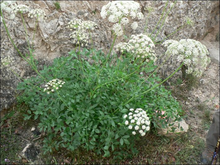 Herbatika-lekovito bilje  - Page 5 Laserpitium_siler_1